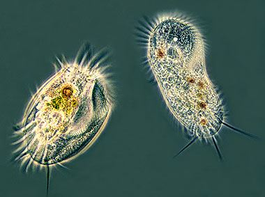 FREE SWIMMING CILIATES